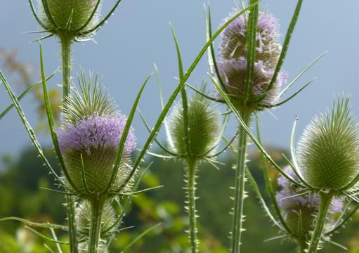 fiori da campo